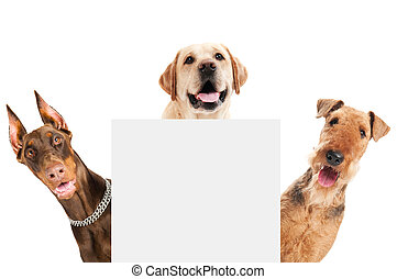 closeup curious heads of Airedale Terrier, labrador retriever and Doberman pinscher dogs isolated on white