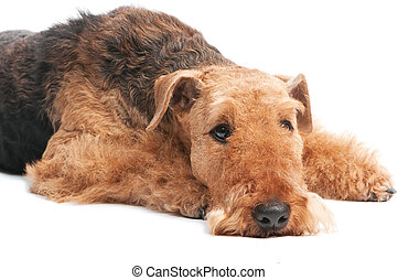 Airedale Terrier dog isolated