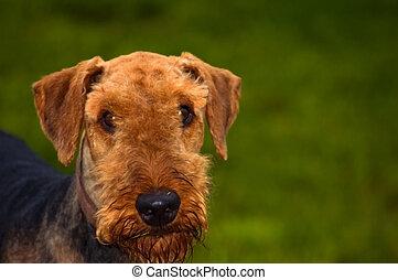 Airedale terrier dog portrait