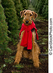 Airedale terrier dog sitting in Christmas tree field - One...