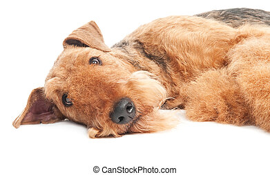 airedale terrier, hund, freigestellt