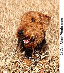 airedale terrier, hund, in, feld, von, goldenes, gras