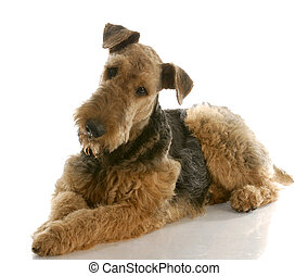 airedale terrier laying down with reflection on white background - one year old