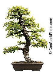 aislado, árbol hoja perenne, japonés, bonsai