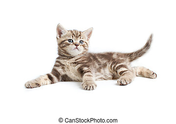 aislado, británico, marmoreal, bastante, gatito, blanco,...