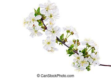 aislado, fondo., puntilla, rama, blanco, blossoms.