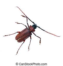aislado, largo, antenas, plano de fondo, escarabajo, blanco