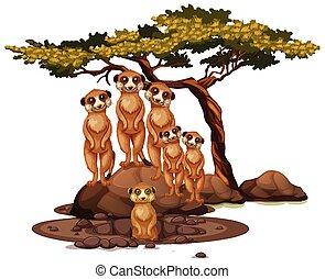 aislado, meerkat, plano de fondo, blanco