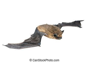 aislado, murciélago, con, alas, blanco, plano de fondo