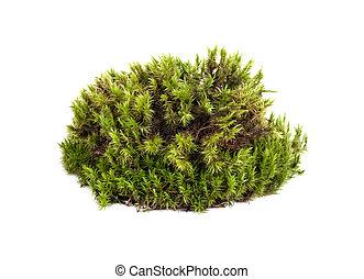 aislado, musgo de sphagnum, primer plano, verde