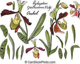 aislado, orquídea, paphiopedilum, en, white., diferente, color, elementos, para, floral, estación, diseño