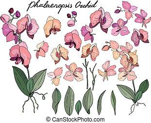 aislado, orquídea, phalaenopsis, en, white., diferente, color, elementos, para, floral, estación, diseño