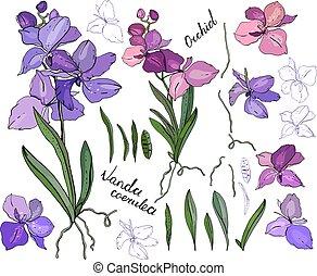 aislado, orquídea, vanda, en, white., diferente, color, elementos, para, floral, estación, diseño