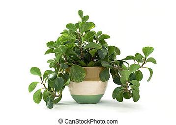 aislado, planta verde, en, maceta