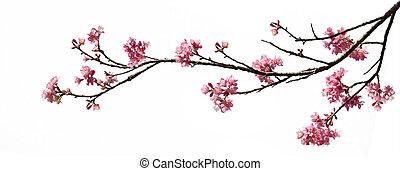 aislado, primavera, flores de cerezo, blanco, plano de...