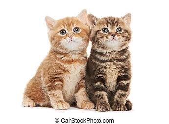 aislado, shorthair, dos, británico, gato, gatito
