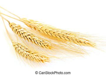 aislado, trigo, orejas