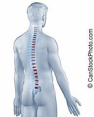 aislado, vértebra, anatomía, trasero, posición, hombre, vista