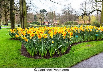 aiuola, con, giallo, narciso, fiori, azzurramento, in, primavera