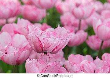aiuola, con, rosa, tulips, (tulipa), in, tempo primaverile