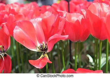 aiuola, con, scarlatto, tulips, (tulipa), in, tempo primaverile