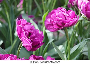 aiuola, con, viola, tulips, (tulipa), in, tempo primaverile