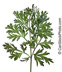 ajenjo, común, absinthium), (artemisia