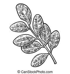 akát, leaf., vektor, vinobraní, vyřezávat, illustration.
