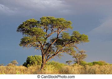 akacja, afrykańskie drzewo