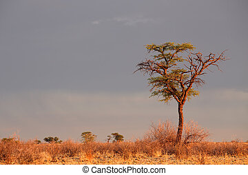akacjowe drzewo, afrykanin