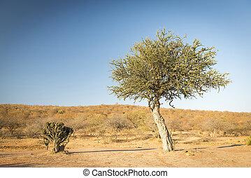 akacjowe drzewo, botswana, afryka