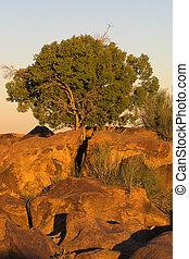akacjowe drzewo