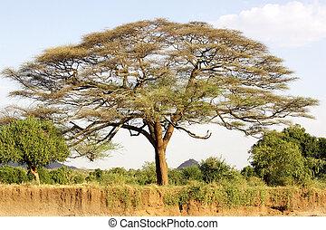 akacjowe drzewo, w, przedimek określony przed rzeczownikami, afrykanin, sawanna