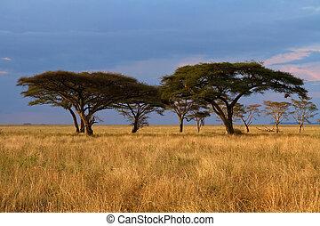 akacjowe drzewo, zachód słońca, grupa