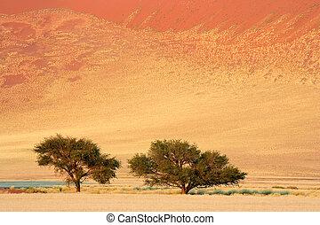 akazie, afrikanisch, bäume