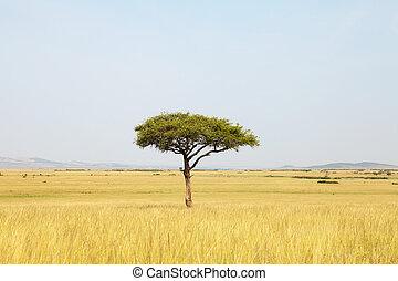 akazie baum, afrikas
