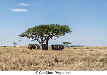 akazie baum elefanten tansania baum ebene herde. Black Bedroom Furniture Sets. Home Design Ideas