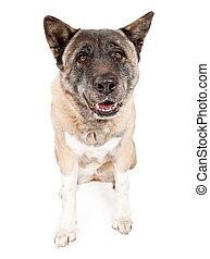 akita, chien blanc, isolé