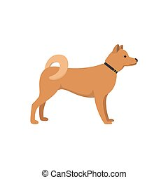 Akita Inu - dog asian breed on white background.