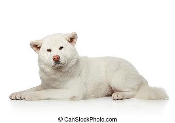 Akita inu dog lying on white background