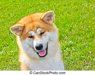 Akita Inu Japanese Dog smiles - close-up portrait of a Akita...