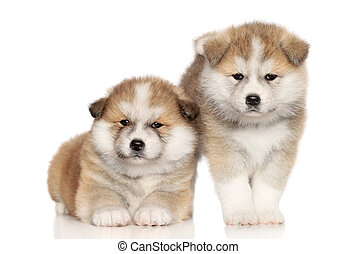 Akita Inu Puppies over white background