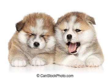 Akita inu puppies resting
