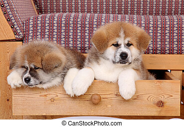 Akita pets - Pets, two Akita Inu puppy dog in drawer of sofa