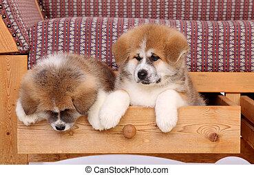 Akita pets - Pets, two Akita Inu puppy dog in drawer of sofa
