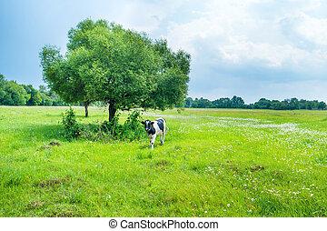 akker, black , groene, koe