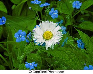 akker, camomile., bloemen