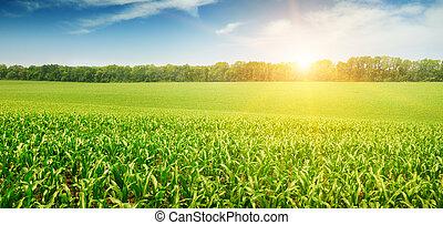 akker, koren, op, zonopkomst