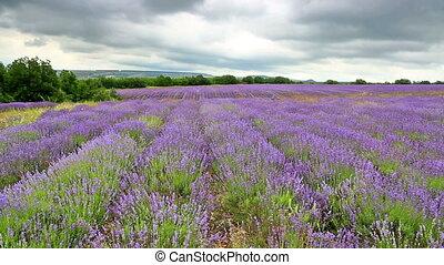 akker, met, bloeien, lavendel