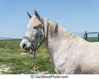 akker, paarde, grijze